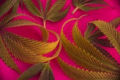 Abstrakcjonistyczny marihuana liści wzór nad różowym tłem Zdjęcia Royalty Free