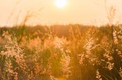 Abstrakcjonistyczny natury tło z kwiatonośną trawą w łące Fotografia Royalty Free