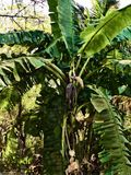 Abstrakcjonistyczny obraz bananowy drzewo - tło wizerunek ilustracja wektor