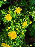 Abstrakcjonistyczny obraz kolorów żółtych kwiaty i zieleń liście - tło wizerunek royalty ilustracja