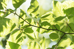 Abstrakcjonistyczny szczegół zieleń opuszcza w wiośnie i lecie fotografia royalty free