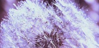 Abstrakcjonistyczny tło, piękni biali dandelion flowrs obrazy royalty free