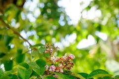 Abstrakcjonistyczny tło Tajlandzki ogród Starfruit kwiat, Averrhoa carambola z liściem Zdjęcie Stock