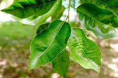 Abstrakcjonistyczny tło z liśćmi Ficus na drzewie Zdjęcie Royalty Free