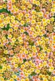 Abstrakcjonistyczny tło kolorowy kwiat, Lantana Fotografia Royalty Free