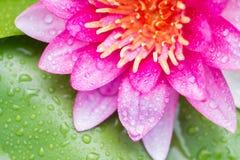 Abstrakcjonistyczny tło menchii woda lilly Obrazy Royalty Free