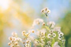 Abstrakcjonistyczny zbliżenie zmierzchu lata kwiaty Stokrotka kwitnie pod światłem słonecznym dla relaksującego natury tła Obrazy Royalty Free