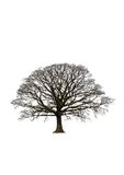 abstrakcyjna drzewa dębowego zima ilustracji