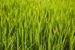 Abstraktów ryż zielony pole Zdjęcie Stock