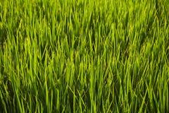 Abstraktów ryż zielony pole Zdjęcie Royalty Free
