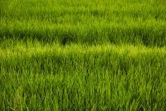 Abstraktów ryż zielony pole Zdjęcia Royalty Free
