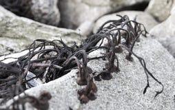 Abstraktów zamknięci up szczegóły o niektóre alg roślinach na rockowej kipieli Fotografia Royalty Free