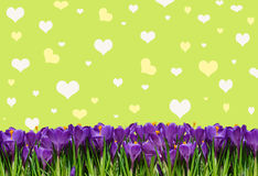 Abstrakt background with crocuses for greetings Happy Valentine Royalty Free Stock Photo
