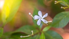 Abstrakt bakgrund av för vit den Sampaguita beautifully jasmin med knopparna och det gröna bladet med solljuset i trädgården Royaltyfri Foto