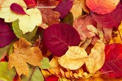 Abstrakt bakgrund av höstleaves höstbakgrundscloseupen colors orange red för murgrönaleaf Royaltyfri Fotografi