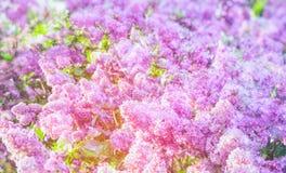 Abstrakt bakgrund av lila blommor Arkivbilder