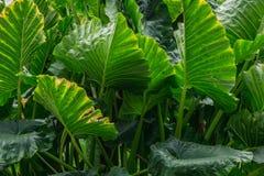 Abstrakt bakgrund av stora gröna sidor Royaltyfri Fotografi