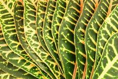 Abstrakt bakgrund av stora tropiska den lokaliserade sidafanbeamen Arkivfoto