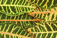 Abstrakt bakgrund av stora tropiska sidor som lokaliseras kaotiskt Royaltyfri Foto