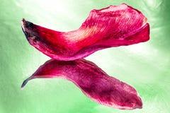 Abstrakt bakgrund av torkade kronblad av tulpan Royaltyfri Bild