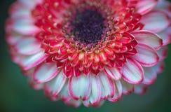 abstrakt bakgrund Closeup av härlig röd bakgrund för vit blomma Arkivfoto