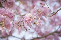 Abstrakt bakgrund för rosa blommor Royaltyfria Bilder