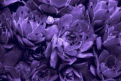 Abstrakt bakgrund för Ultraviolet - Closeup av Sempervivum calcare Royaltyfri Bild