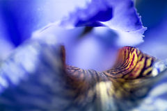 Abstrakt bakgrund från en irissibirica i blom, makroskott Royaltyfria Bilder