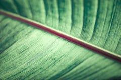 Abstrakt bakgrund, grön bananbladcloseup, tonad tappning Royaltyfri Foto