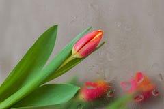 Abstrakt bakgrund i moderna halvton dekorerade blommor av röda tulpan, suddig stil Delikata toner för modell Royaltyfri Fotografi