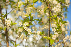 Abstrakt bakgrund med den härliga körsbärsröda blomningen på en solig vårdag Royaltyfria Bilder