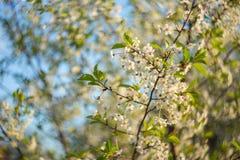 Abstrakt bakgrund med den härliga körsbärsröda blomningen på en solig vårdag Royaltyfri Fotografi