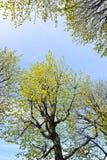 Abstrakt bakgrund med filialer av lindar Royaltyfria Foton