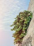Abstrakt bakgrund med gröna växter som växer i grå färger, hårdnar stenväggen diagonalt på en sommarhimmelbakgrund på en solig da Arkivbilder