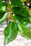 Abstrakt bakgrund med sidor av fikus på trädet Royaltyfria Bilder