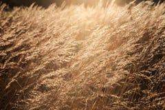 Abstrakt bakgrund med torrt guld- gräs på ett fält Royaltyfri Fotografi