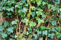Abstrakt bakgrund - murgröna på träd Royaltyfria Foton