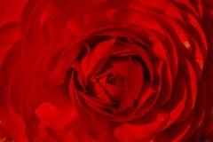 Abstrakt bakgrund: Röd Ranunculusblomma Royaltyfria Bilder