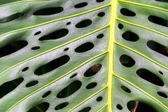 Abstrakt bakgrund, slut upp av en grön tropisk växt Arkivfoto