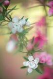 Abstrakt bakgrund - suddig Sukura för mjuk fokus som rosa färg dekoreras med rosa färger Royaltyfria Foton