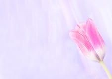 abstrakt bakgrund suddighet rosa tulpan Royaltyfria Bilder