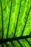 abstrakt bakgrundsblad och hans åder i ljuset Fotografering för Bildbyråer