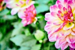 abstrakt bakgrundsblommor Närbild rosa asia gul gräsplan arkivbild