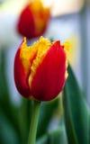 abstrakt bakgrundsvertical Härlig röd tulpan för Closeup Flowerbackground gardenflowers för bladblommor för bakgrund härlig trädg Arkivfoto