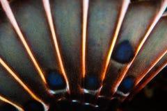 Abstrakt begrepp av den bröst- fena för Spotfin Lionfish Royaltyfria Foton