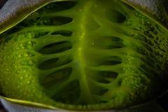 Abstrakt begrepp av en Tunicate på en rev i Indonesien Arkivbilder
