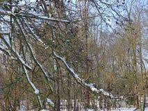 Abstrakt begrepp av trädfilialer som täckas i snö Arkivbild