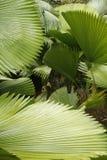 Abstrakt begrepp av tropiska palmettosidor i södra Florida Arkivfoton