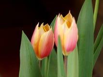 Abstrakt begrepp av två tulpan Royaltyfria Bilder