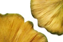 Abstrakt begrepp för blad för biloba för makrostrålningsguld- höstGinkgo på vit royaltyfria bilder